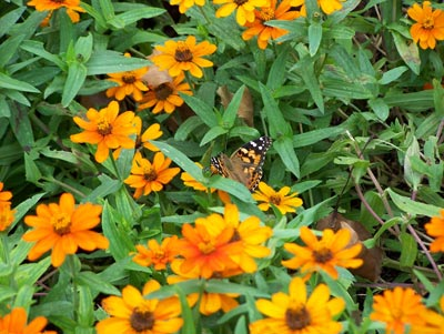 Orange coneflowers and butterfly